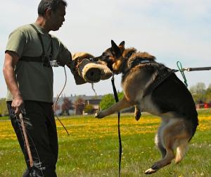Protection Dog Training protection dog Protection Dog Training gallery 2 1 300x251