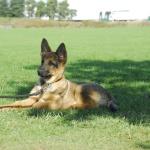 Puppy Training Obedience Dog Training TEAM-K9  Group Dog Training DSC0818 1 150x150