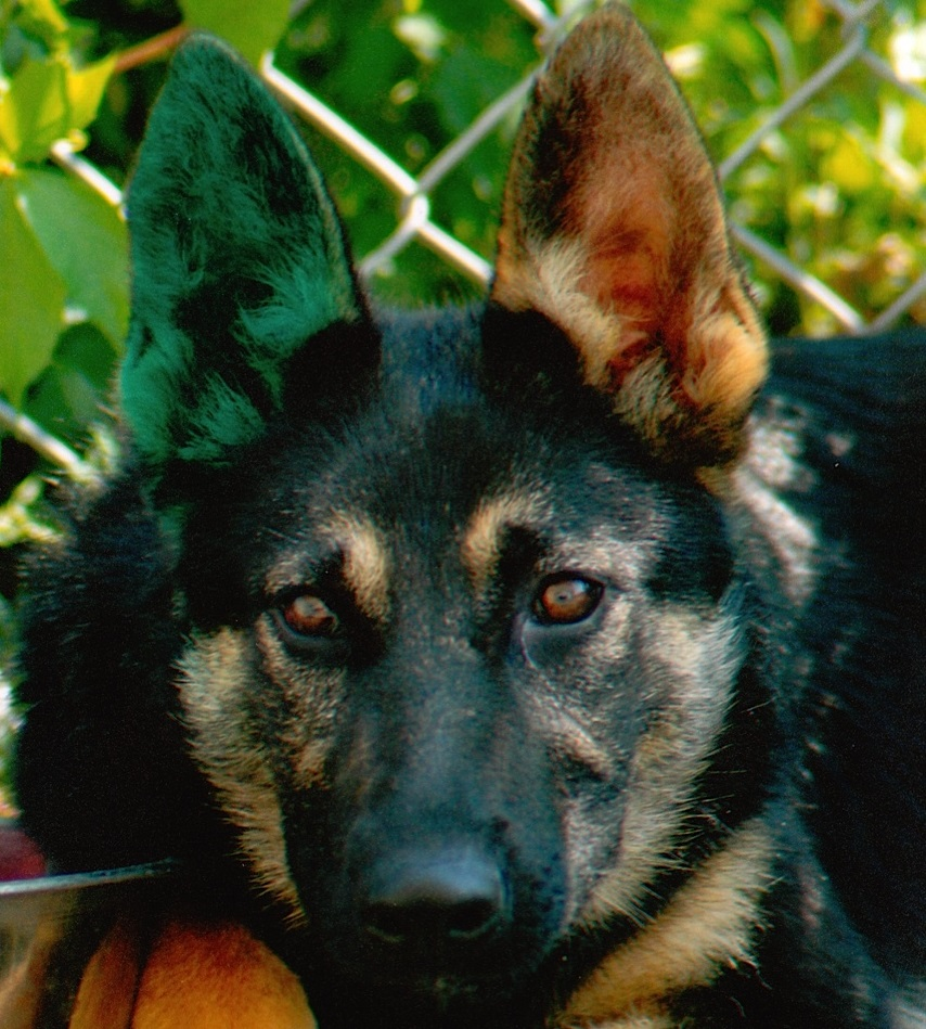 is sterilization in your dog's best interest? Is Sterilization In Your Dog's Best Interest? TEAM K9 Kleo 1