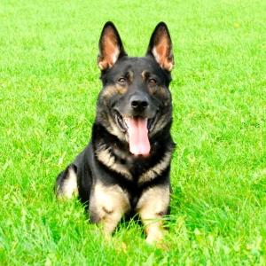 TEAM-K9 Protection Dog 01 - Copy protection dog Protection Dog Training TEAM K9 Protection Dog 01 Copy 300x300