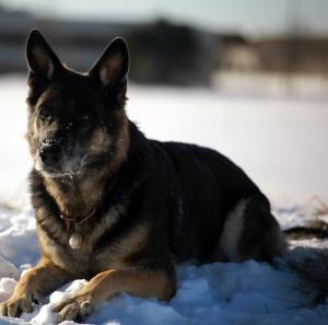 TEAM-K9 Protection Dog 02 - Copy protection dog Protection Dog Training TEAM K9 Protection Dog 02 Copy 300x297