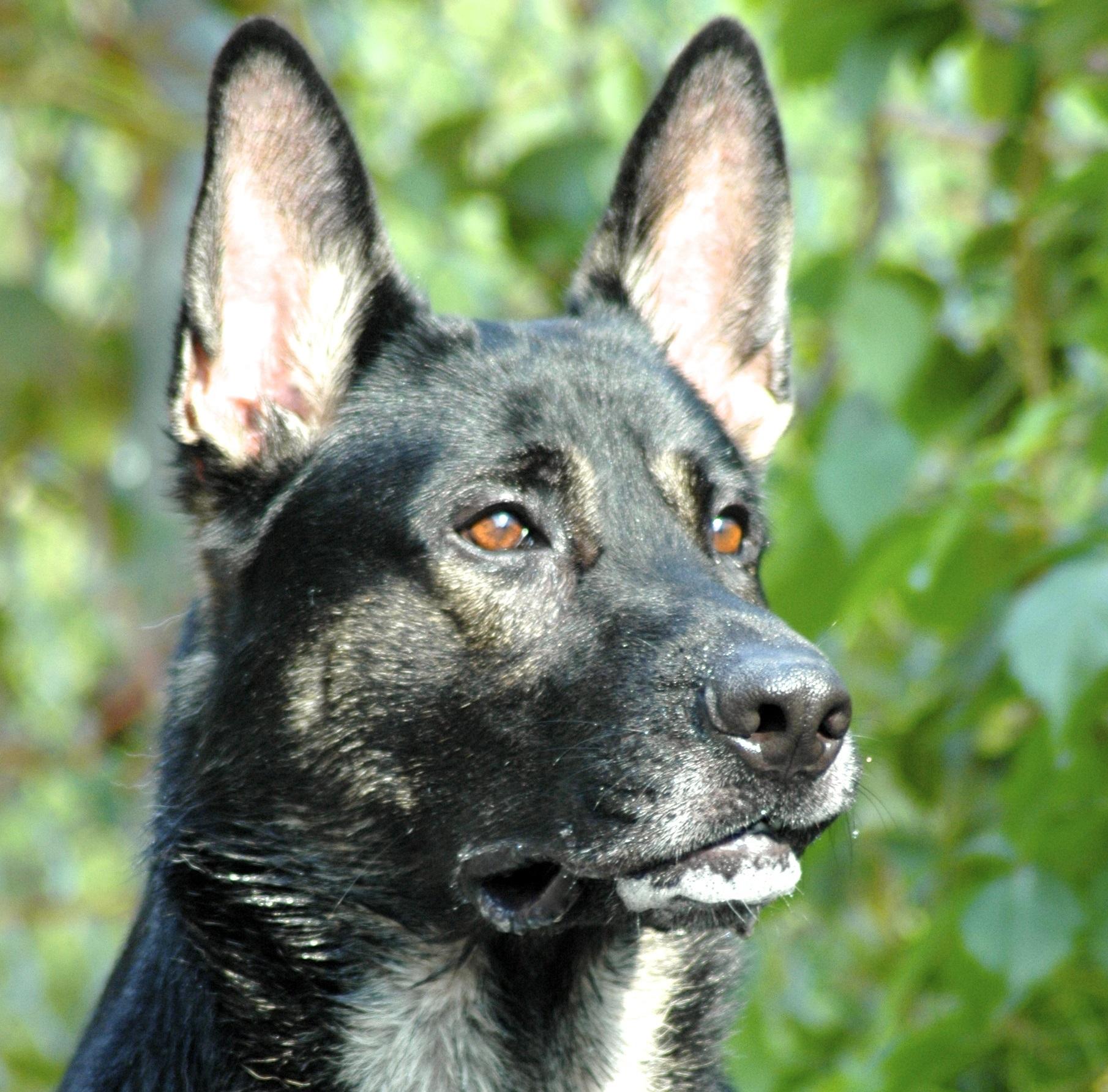 protection dog Protection Dog Training TEAM K9 Protection Dog 03 Copy