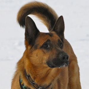 TEAM-K9 Protection Dog 04 - Copy protection dog Protection Dog Training TEAM K9 Protection Dog 04 Copy 300x298