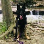dog training in mississauga, TEAM-K9, testimonial, aggressive dog training, puppy training  Testimonials Bear Feb 12 2019 TEAM K9 150x150